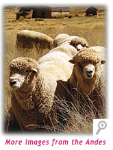 Sheeps of Peru